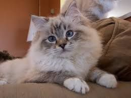 Ragdoll Cat Cross Tabby Ragdoll Kitten Ragdoll Cat Cat Care