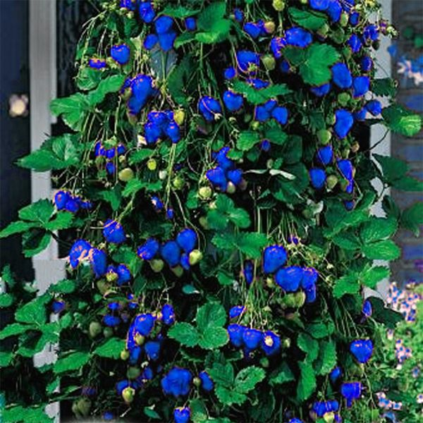 500Unids Fresa Azul Rara Fruta Semillas de Hortalizas Bonsai ...