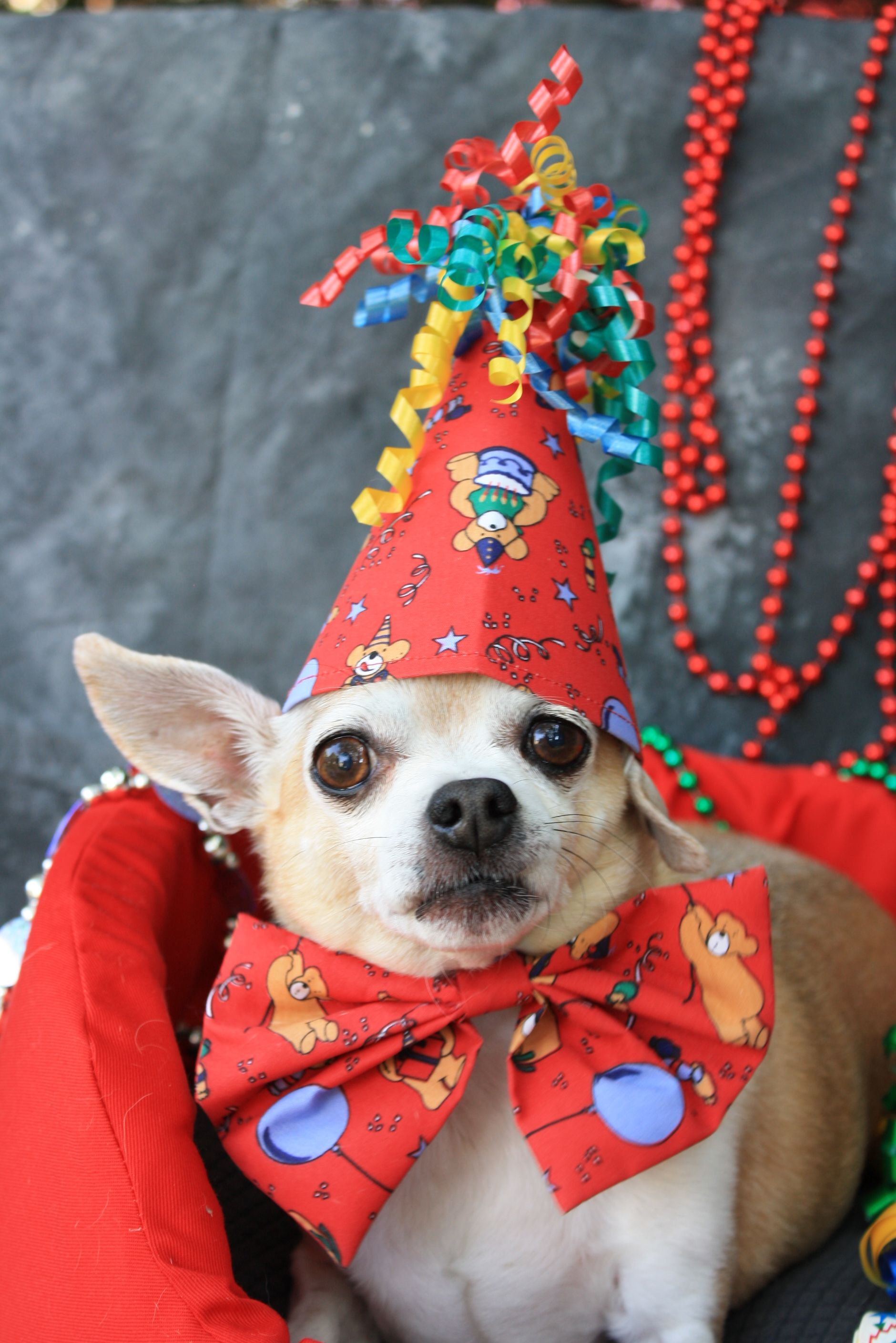 Chihuahua In Birthday Hat