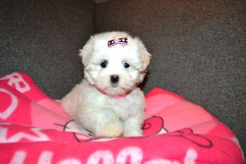 Puppies For Sale Morkies Maltese Yorktese Malshi Teacup Pups