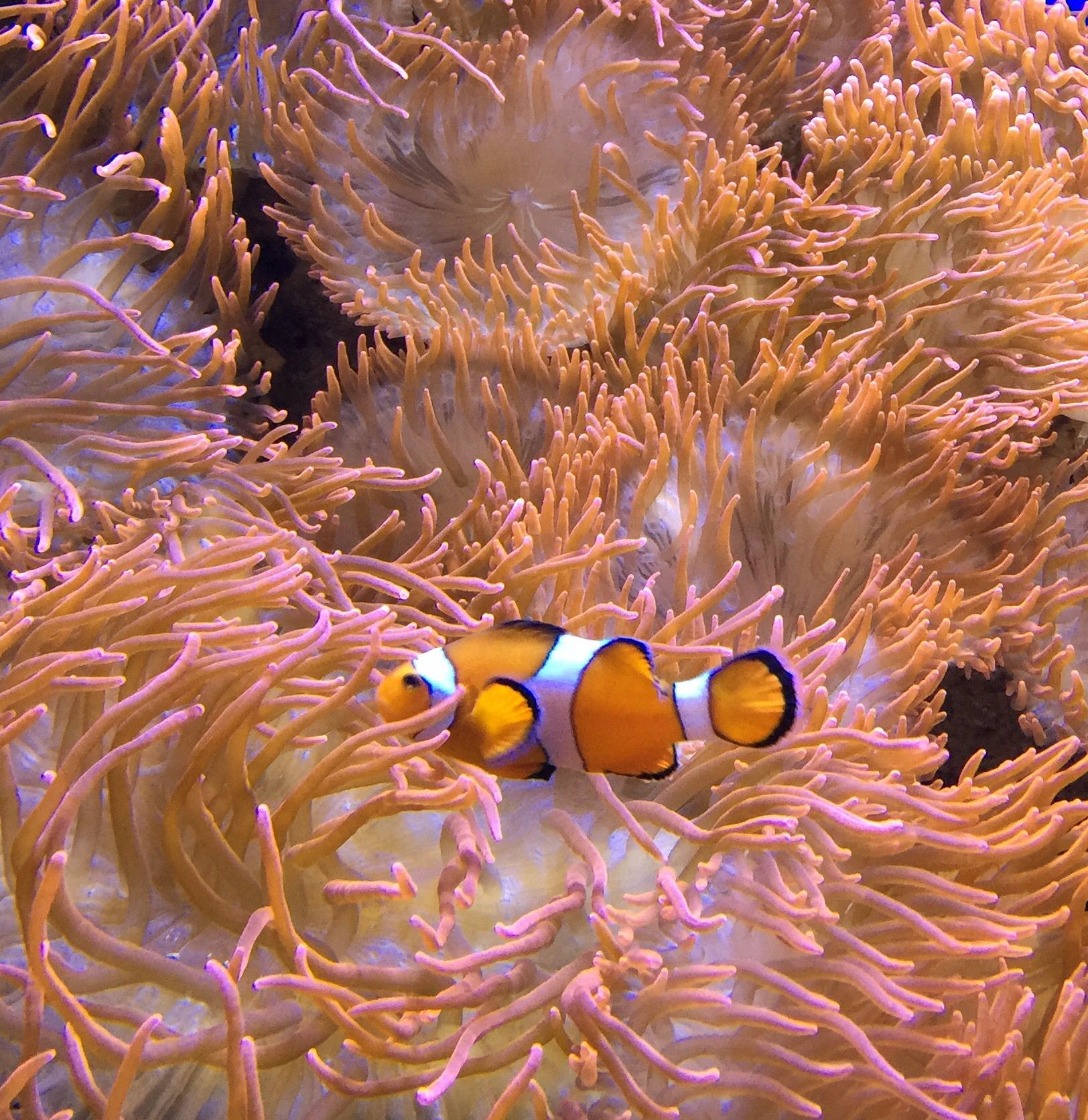 Clownfish nestled in sea anemone - Photo by CS Lent