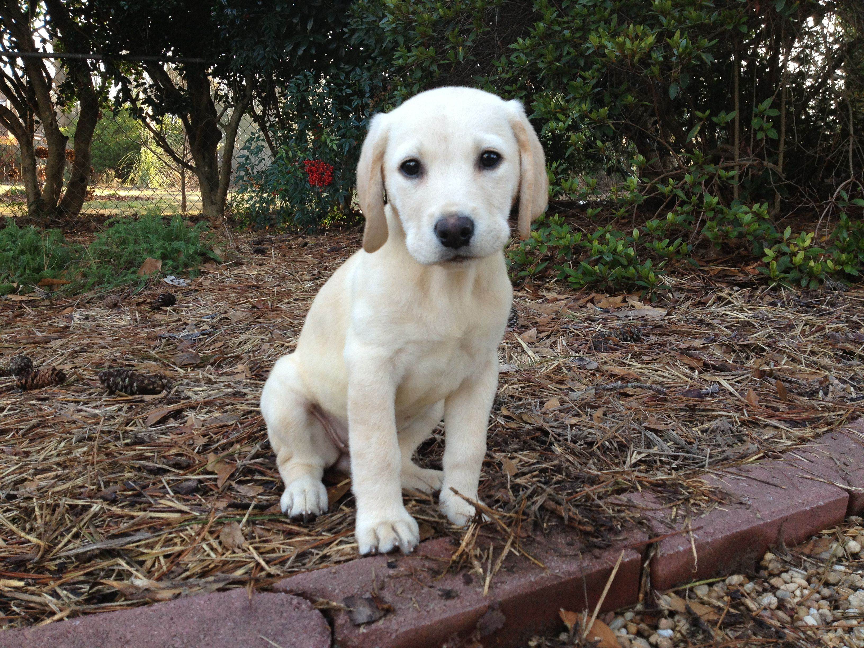 American Field Lab 13 Weeks And Growing Labrador Labrador Retriever Golden Retriever