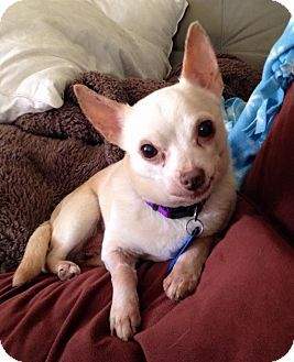 Pin By T Napo On Adoptable Pampered Pooches Chihuahua Mix Pets