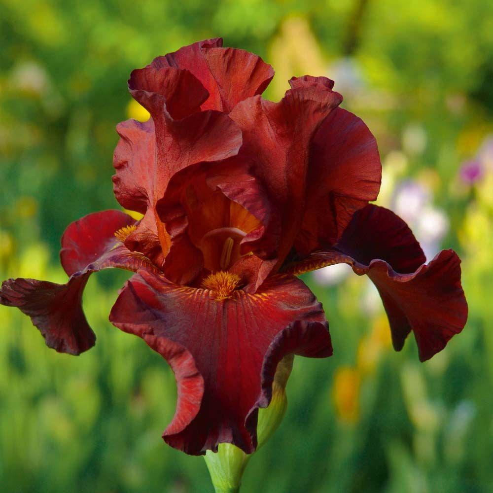 Iris Pass The Wine Re Blooming Perennial Biennial Plants Thompson Morgan Iris Flowers Biennial Plants Bearded Iris