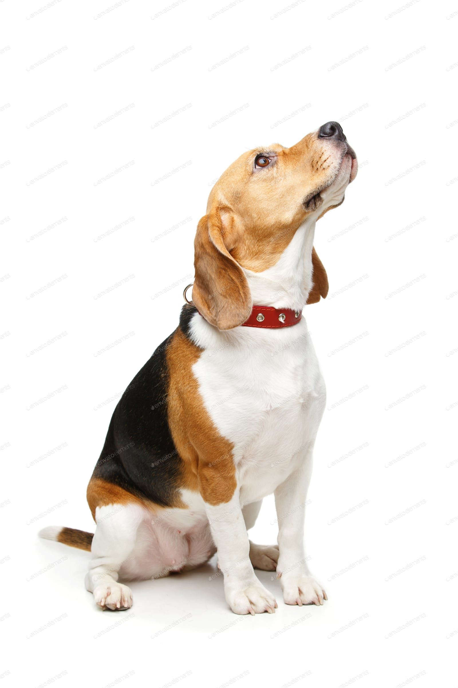 Beagle Dog Beagle Dog For Sale Beagles For Sale Online Beagle Female For Sale Puppies For Sale Uk Pocket Beagle For Sale Beagle Beagle Dog Beagle Puppy Beagle