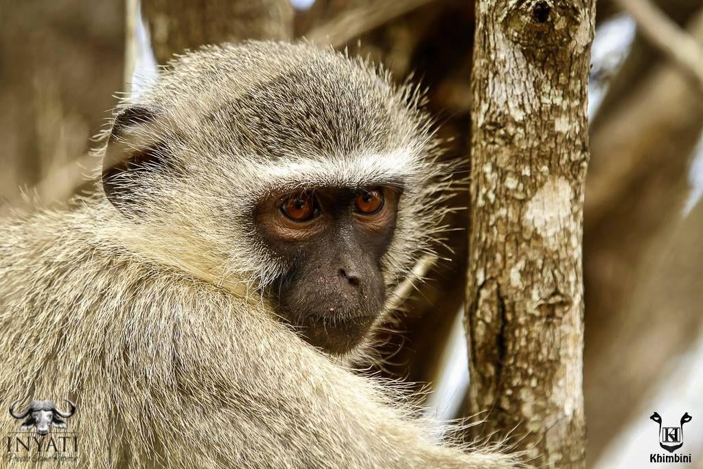 #sabisands #inyatisafari #safarivacation #wildlifephotography #AmazingAfrica