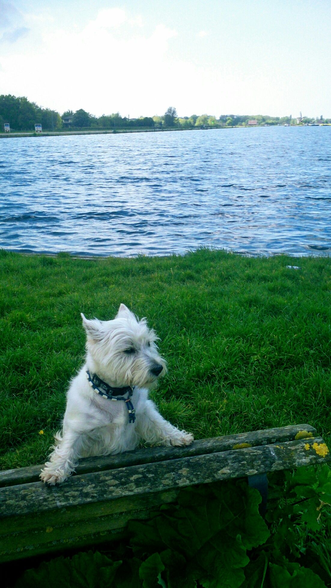 Pin By Nancy Goins Ford On Westies Westies Animals Dogs
