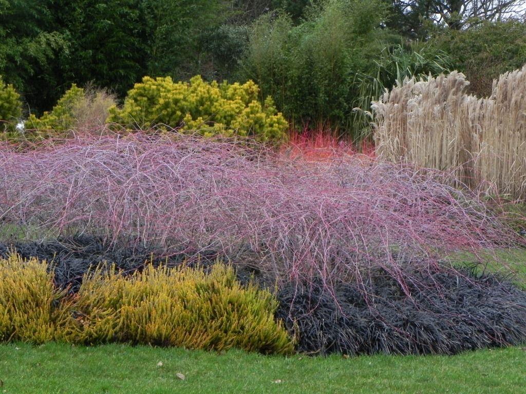 rubus cockburnianus u0027golden vale u0027 and ophiopogon planiscarpus