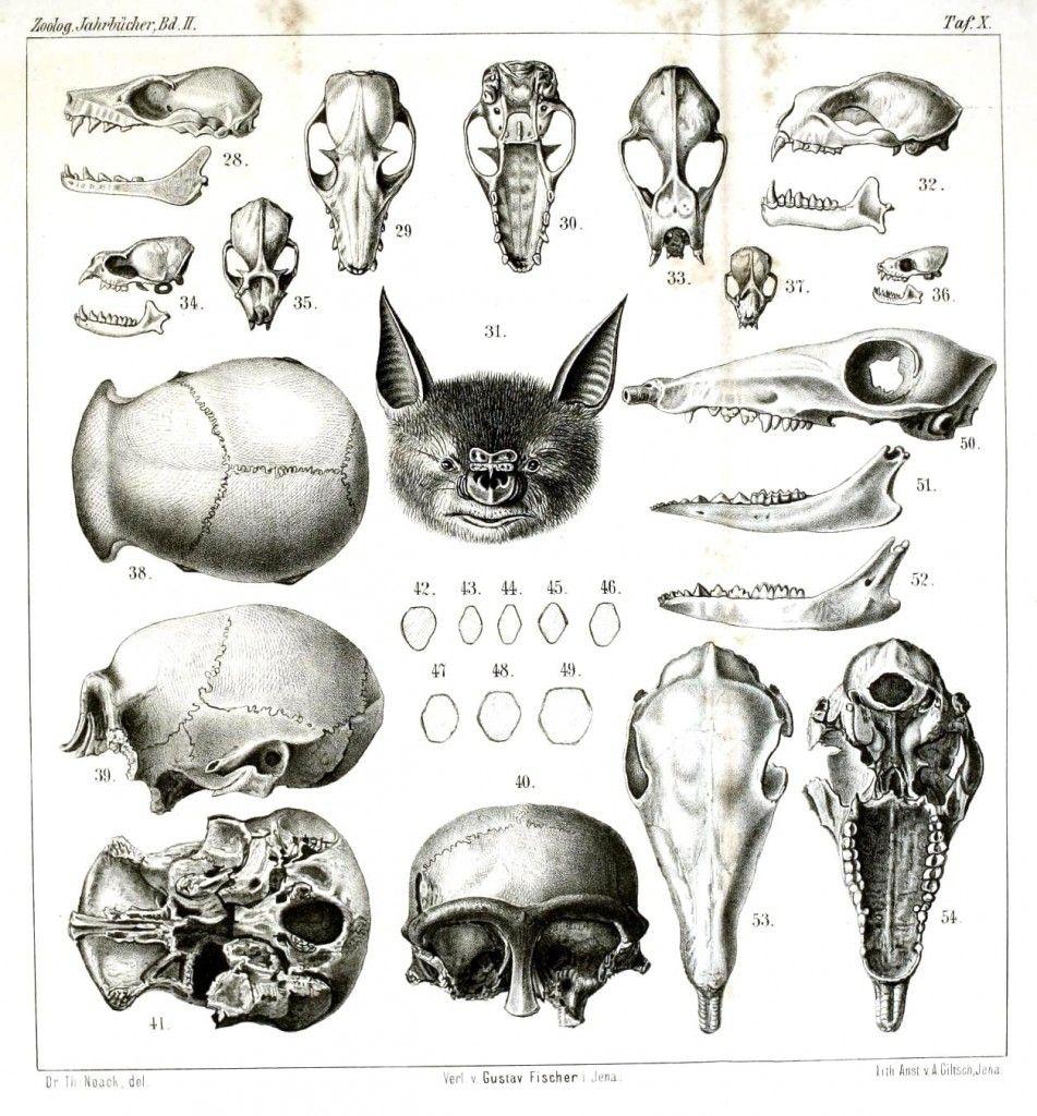 Animal-Animal-head-Comparative-anatomy-skulls-951x1024.jpg (951×1024 ...