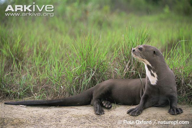 Giant Otter Lying Down Endangered Giant River Otter Otters