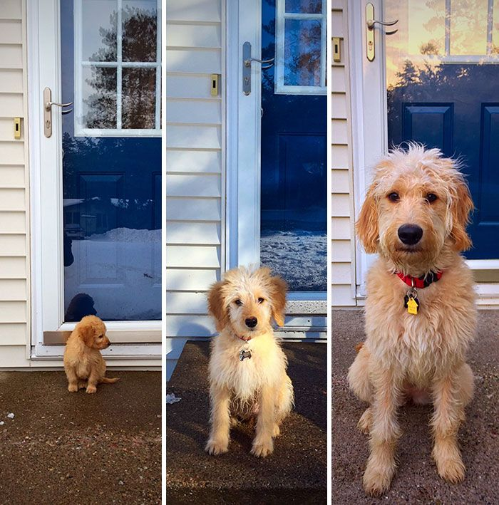 Share Then And Now Pictures Of Your Dog Growing Up Goldendoodle Funny Dog Pictures Dog Pictures