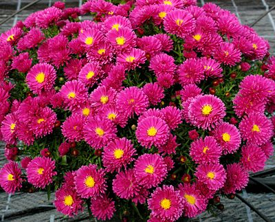 Aster Carmine Red Gorgeous Magenta Red Flowers With A Gold Button Center From Late Summer Through Mid Fall Every Inch Of The F Pink Perennials
