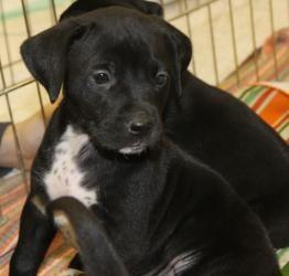 Adopt Gianna On Labrador Retriever Labrador Retriever Dog Retriever Dog