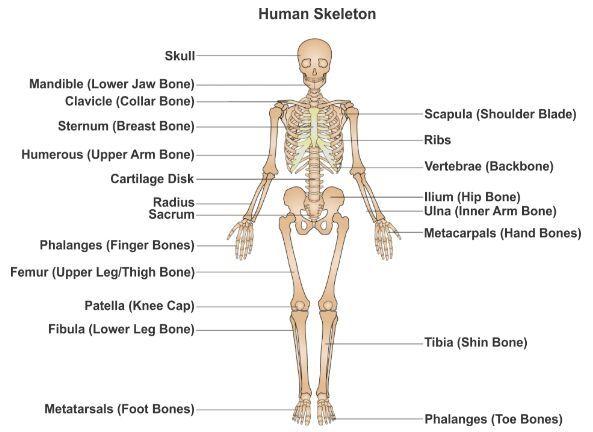 Human Skeleton Gross Anatomy Anterior View Anatomynote