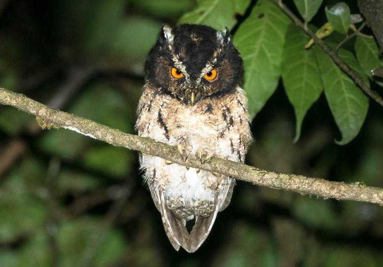 Burung Hantu Celepuk Gunung (Otus Angelinae) | Burung hantu, Burung, Hantu