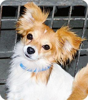 San Diego County Ca Papillon Chihuahua Mix Meet Tucker A Dog For Adoption Http Www Adoptapet Com Pet 11674474 San Diego County C Dogs Pets Dog Adoption