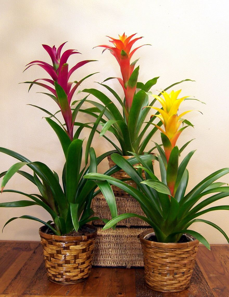 Bromeliads Plants that don't need light Safe house