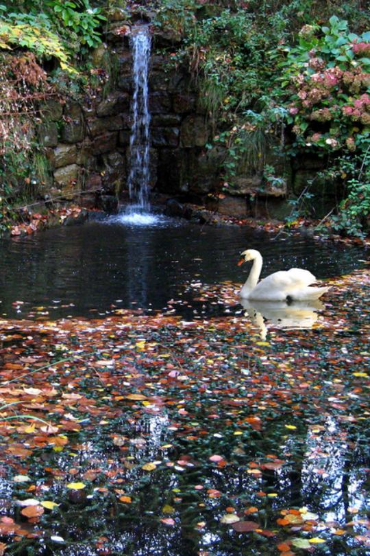 luxuriousimpressions:  Autumn Swan | Photographer John Taylor