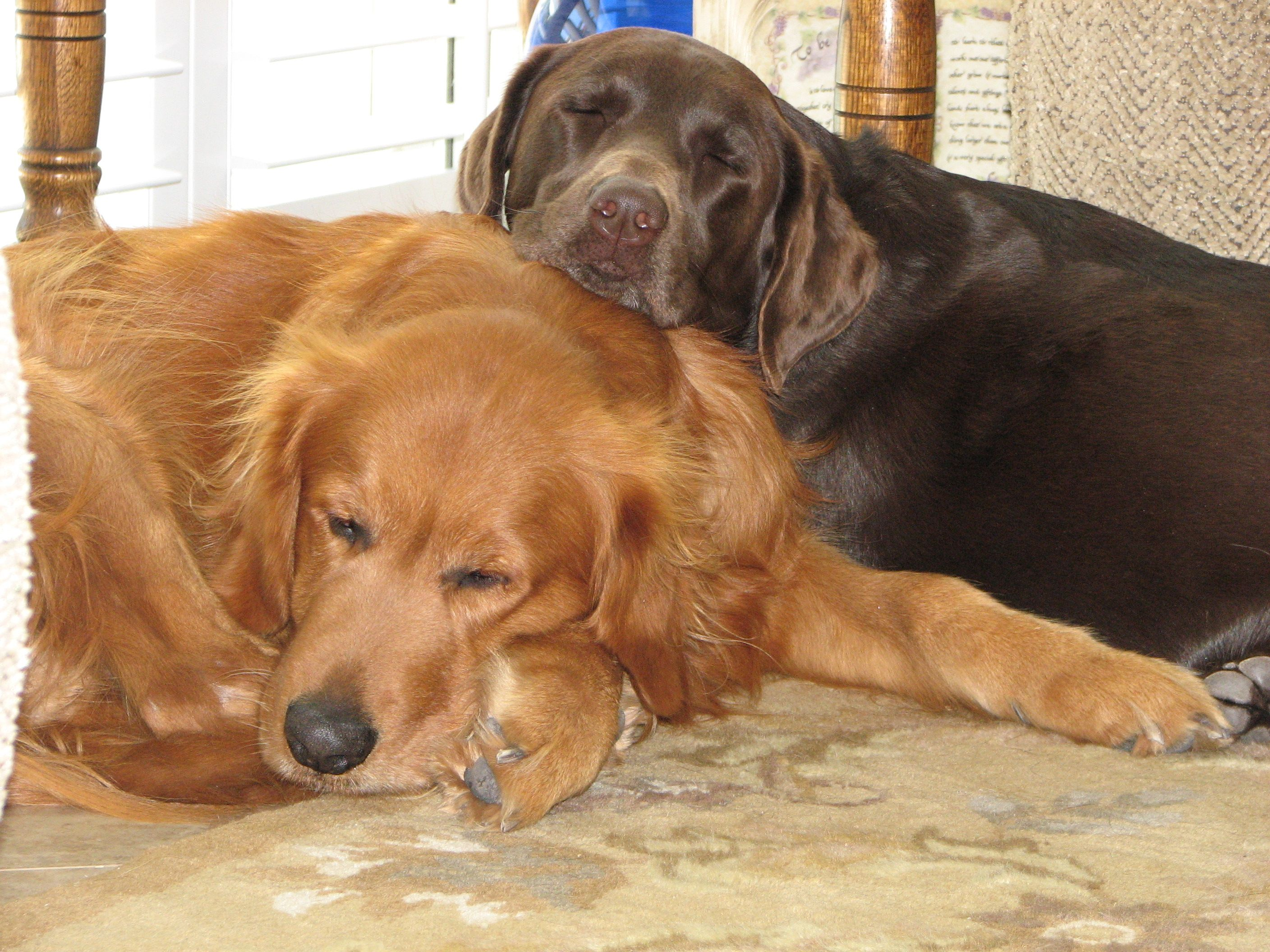 Best Friends Forever Our Golden Retriever And Chocolate Lab
