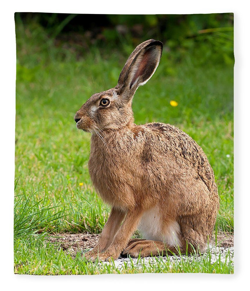 Hare Profile Fleece Blanket For Sale By Torbjorn Swenelius In 2020 Rabbit Photos Wild Hare Animals