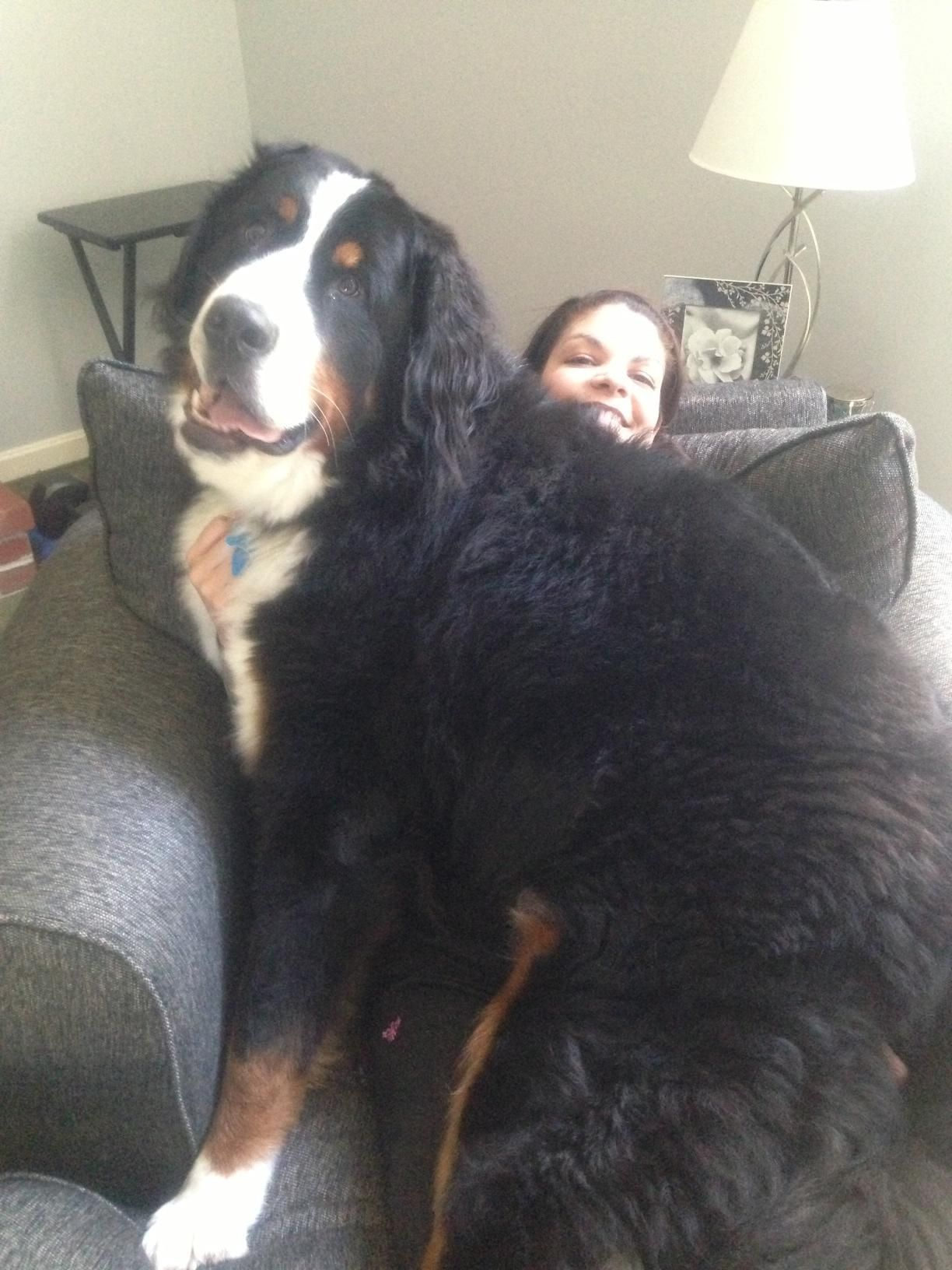 Wonderful Bernese Mountain Dog Chubby Adorable Dog - d0966001a446c9a2bf36e47f17acf2c9  Perfect Image Reference_132121  .jpg