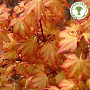 Acer Palmatum Winter Flame Buy Coral Bark Japanese Maple Trees