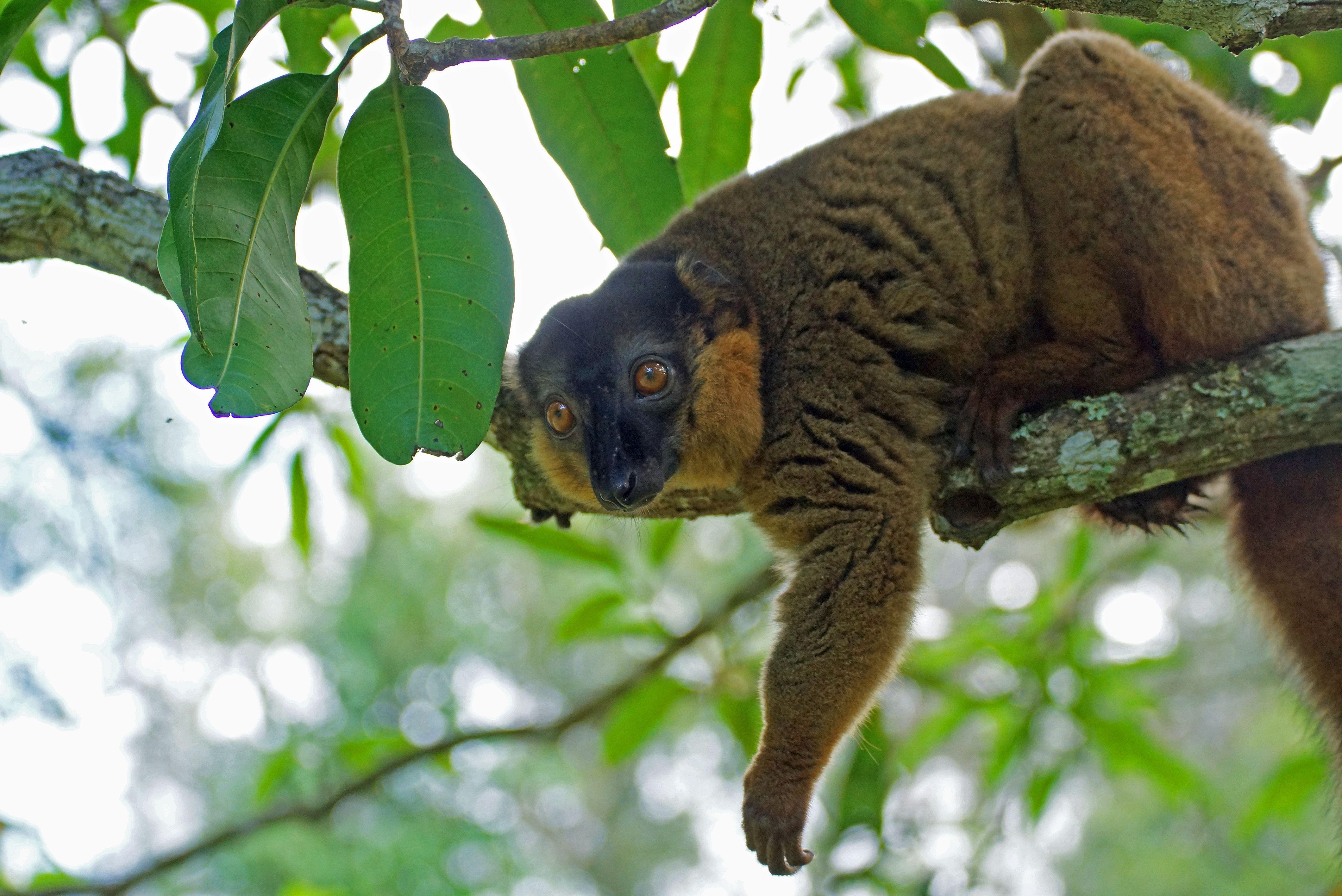 Madagaskar wirkt auch noch heute wie eine wundersame, geradezu kuriose Welt. In Wäldern voller Baobabs und Litschis leben viele einheimische Tiere und Pflanzen: Chamäleons aller Größen und tanzende Lemuren aller Couleur. Es scheint, als beobachteten einen die typischen kugelrunden Augen der Primaten von jedem Baumwipfel aus. Malaiische, arabische, afrikanische und später europäische Vorfahren haben auf Madagaskar eine Kultur geschaffen, die so eigensinnig und charmant ist wie ihre Umwelt.