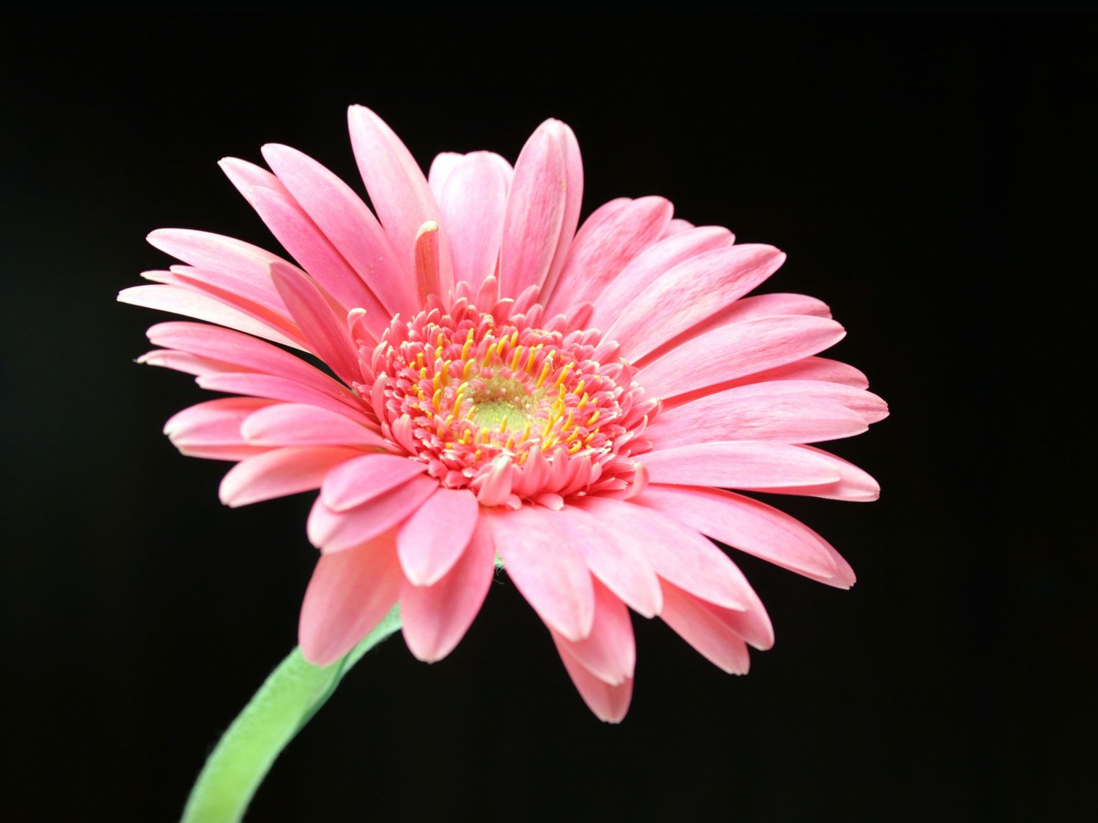 4205636 pink daisy normalg 16001200 flores pinterest gerbera gerberas are actually a type of daisy asteraceae and are one of the most popular flowers to buy due to their bright colour and longevity izmirmasajfo