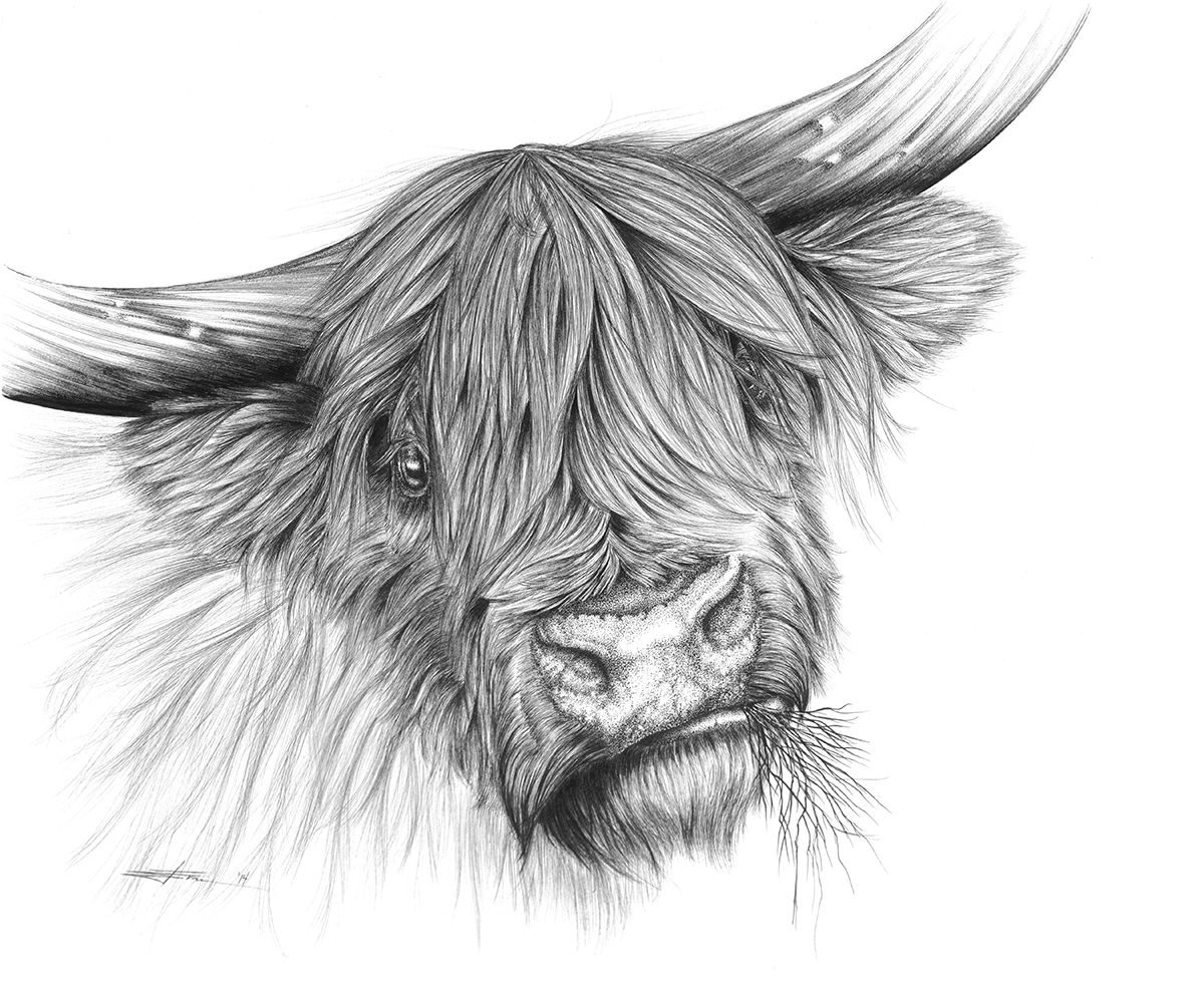 Commission Piece Of A Scottish Highland Cow The Client Asked For A Piece With Some Attitude So I Highland Cow Tattoo Highland Cow Art Scottish Highland Cow