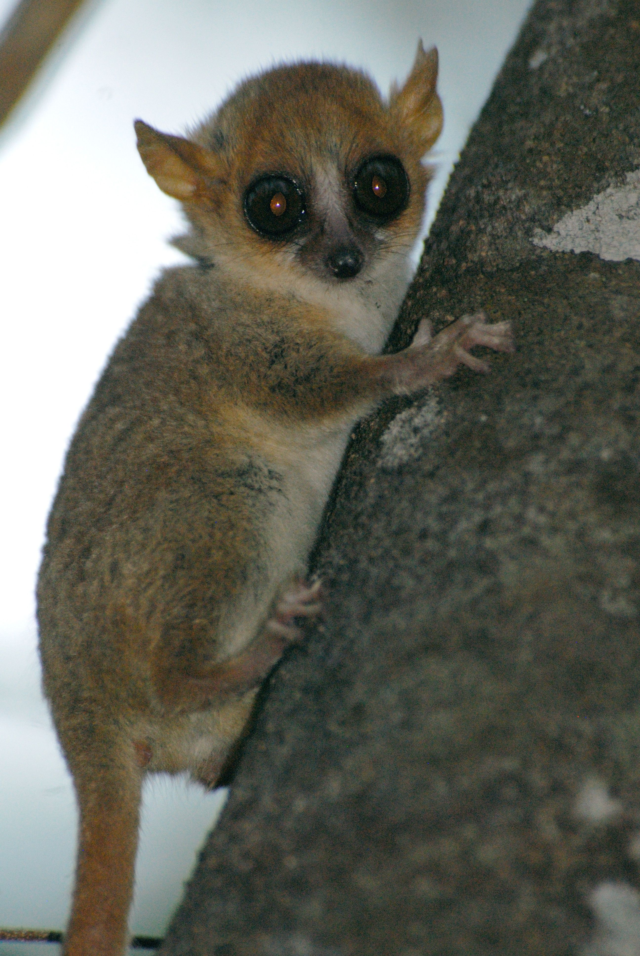 Image Gallery spotted lemur