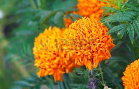 24730682-chrysanthemum-flower.jpg (450×288)