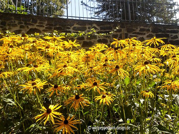 Rudbeckia, sommerblumen im schloss gedern, gelbe gartenblumen, gelb, 365tagegelb.wordpress.com #gelb #yellow