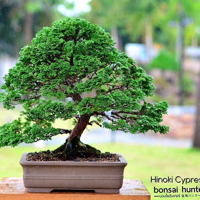 Bonsai ,bonsai tree,bonsai tree near me,bonsai tree care