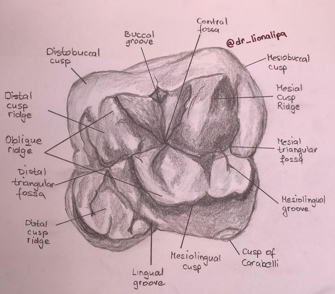 Maxillary first molar #dentalpainting #dentalsketch #lowermolar ...