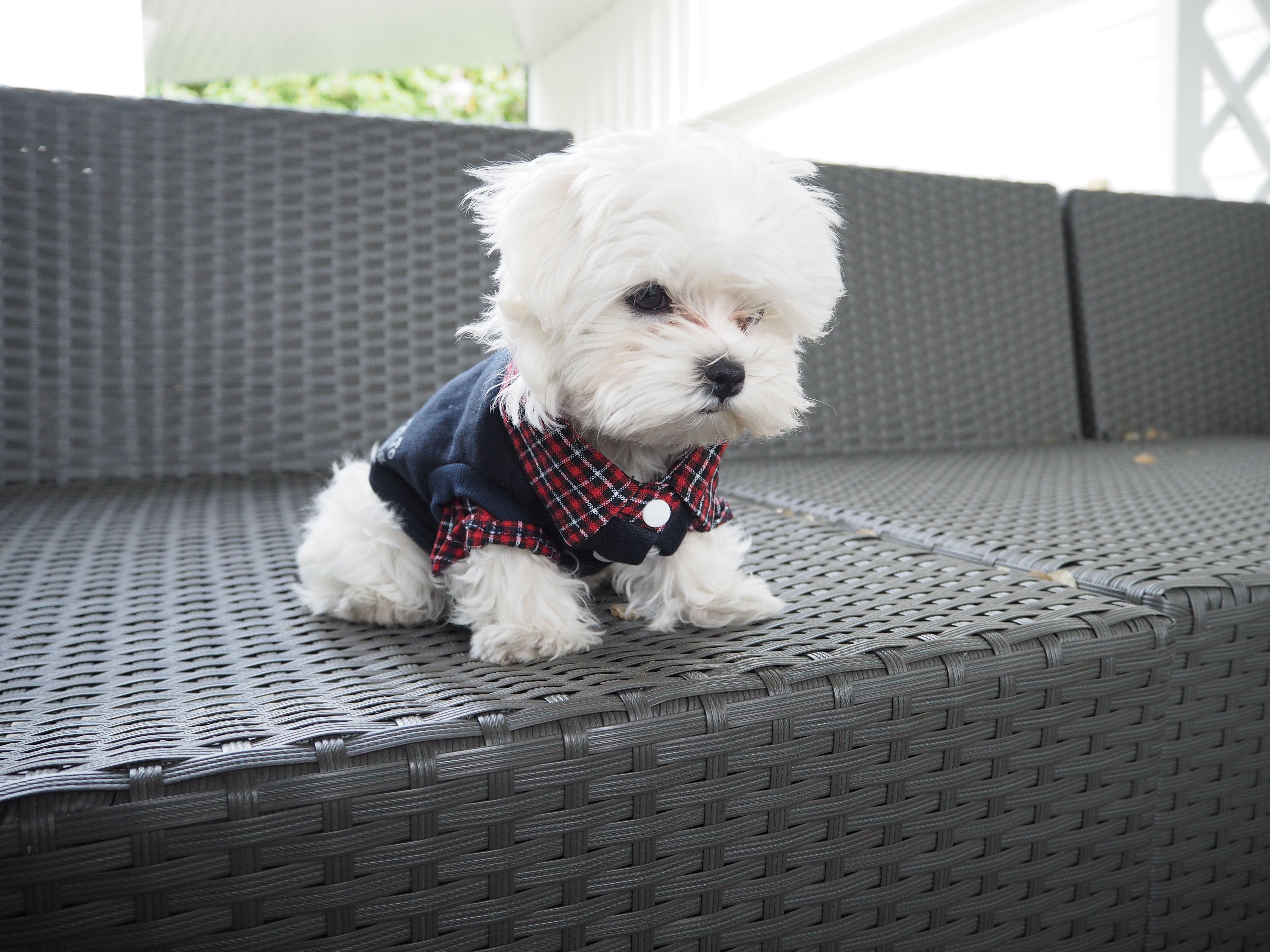 Maltese Pupp Maltese Puppy Teacup Puppies Maltese
