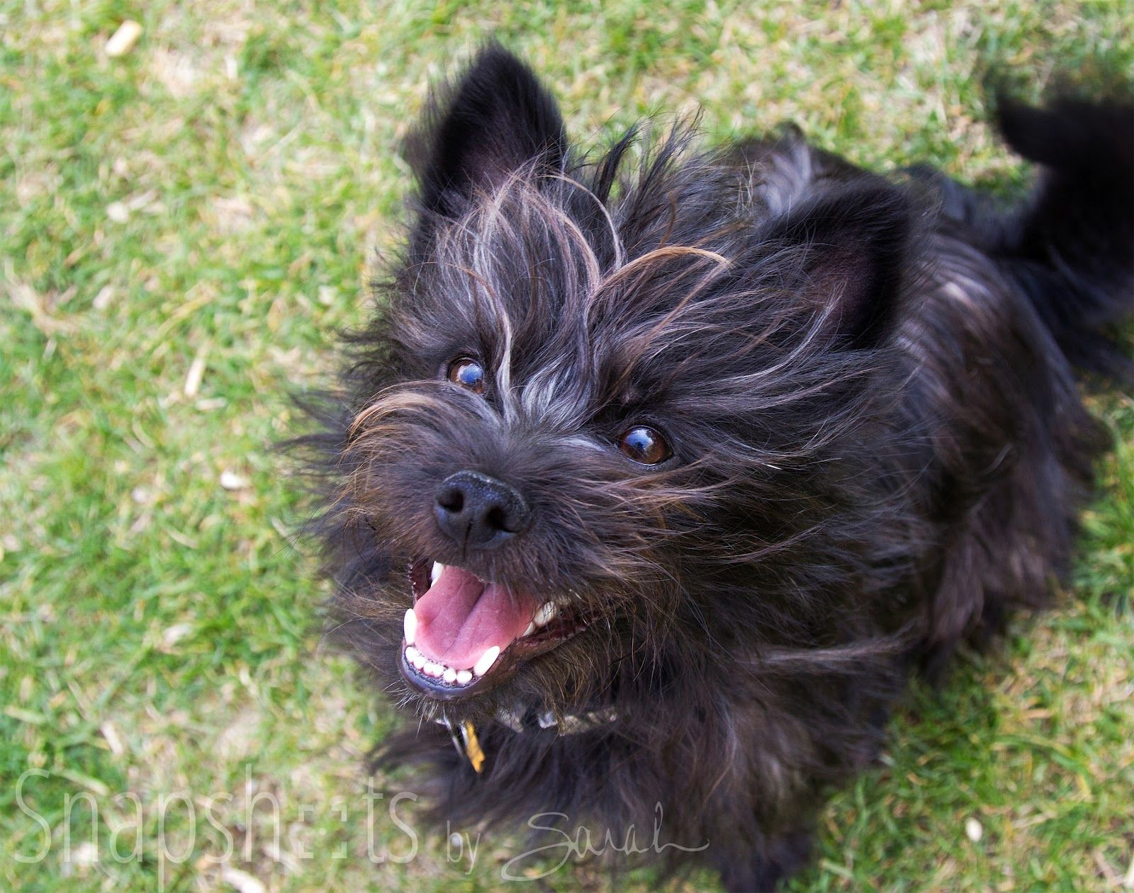 Cairn Terrier Pitbull Terrier