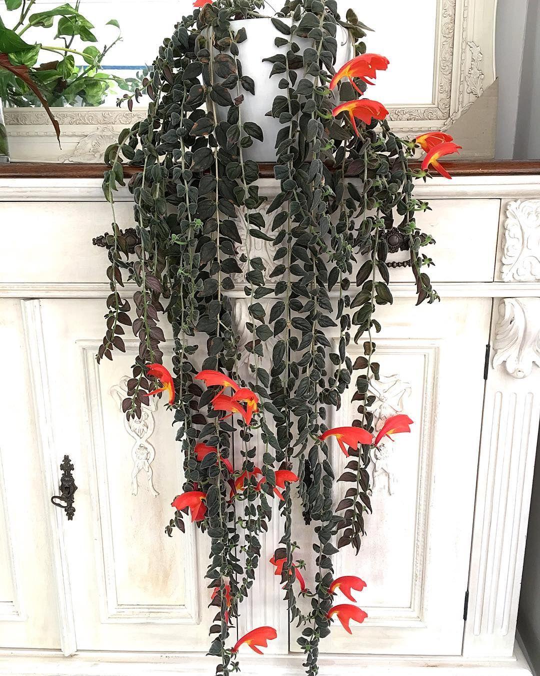 Columnea Plante Poisson Rouge Avec Images Plante Poisson