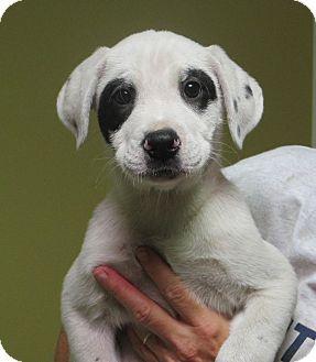 Rochester Ny Dalmatian Labrador Retriever Mix Meet Rayban A Puppy For Adoption Http Www Adoptapet Com Pet 11132591 Roch Dalmatian Mix Pregnant Dog Pets