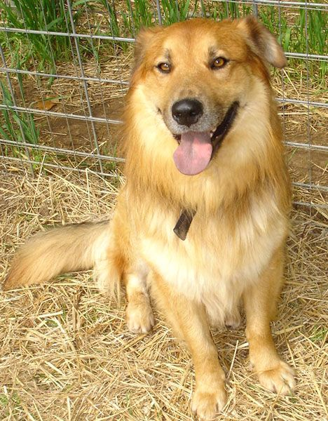 Chow Chow Collie Mix Had One For 16 Years Of My Life And He Was