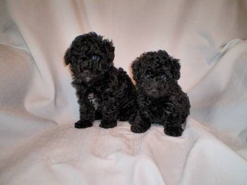 Tiny Toy And Toy Poodle Puppies Black And Silver Akc