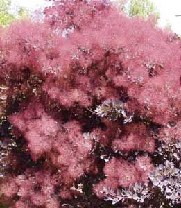 Beautiful Pink Smoke Tree Or Cotinus Coggygria This 12 14 Foot