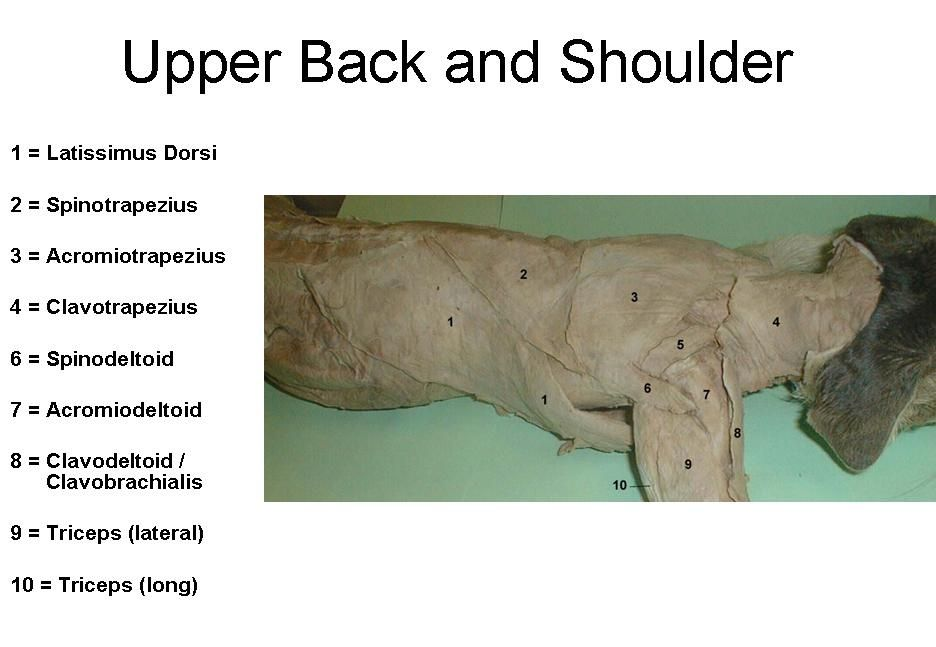 Cat Muscles upper back and shoulder