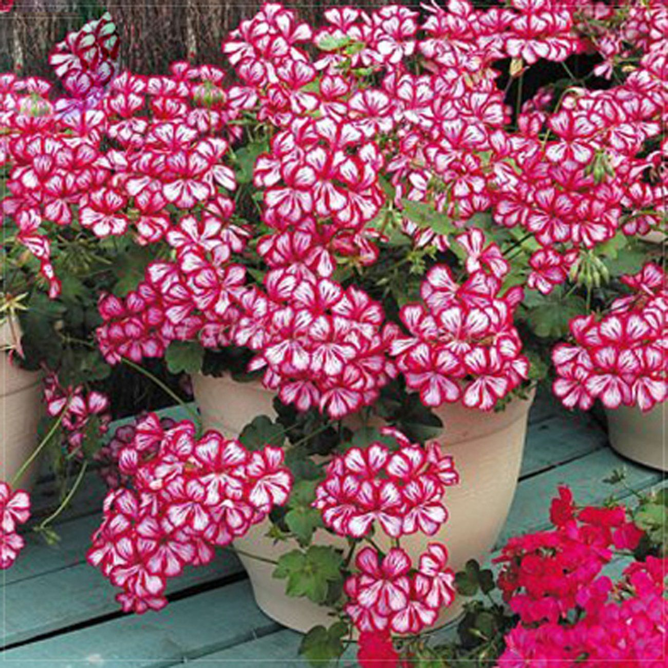 Best Garden Seeds Very Rare Geranium 'Dragon