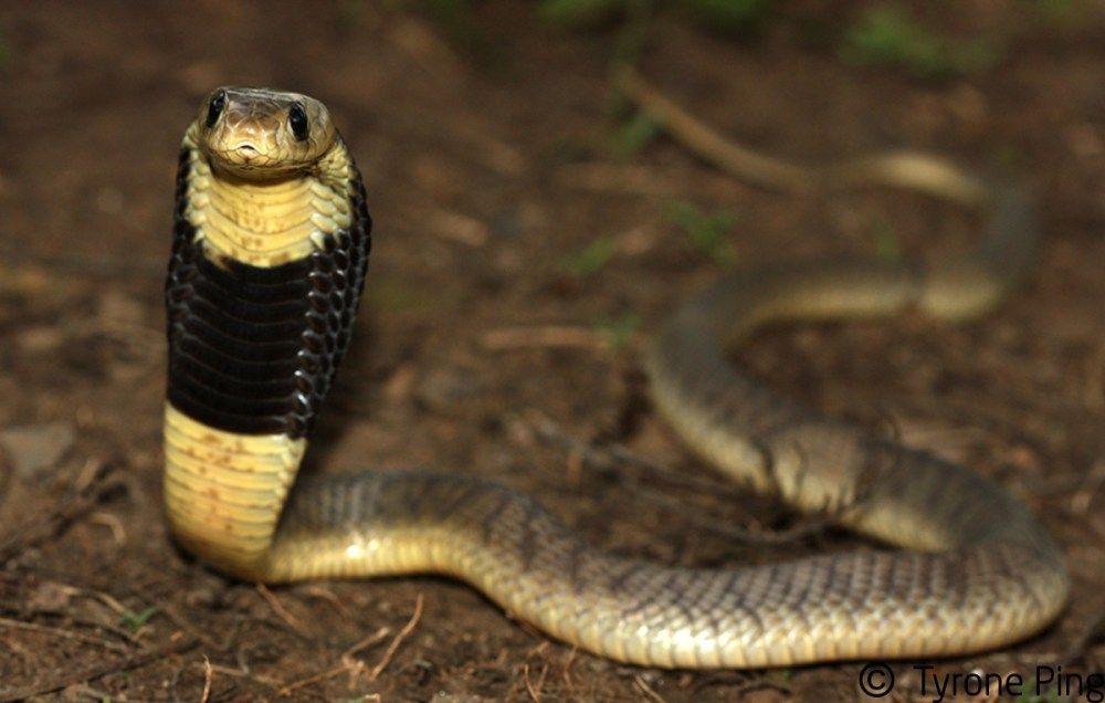 Naja annulifera - Snouted Cobra. | Snake venom, Snake ...Naja Kaouthia Venom