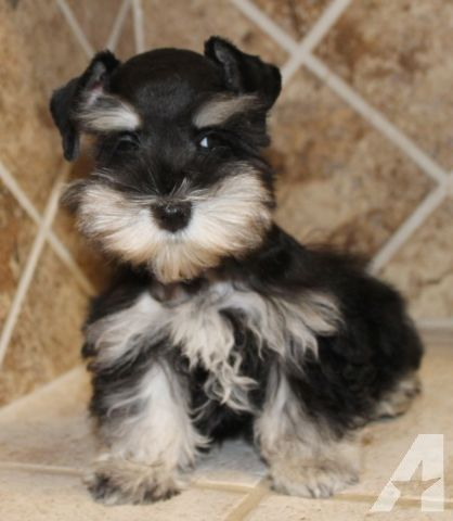 Miniature Schnauzer Toy Black Silver Phantom Chloe Schnauzer Schnauzer Puppy Miniature Schnauzer Puppies
