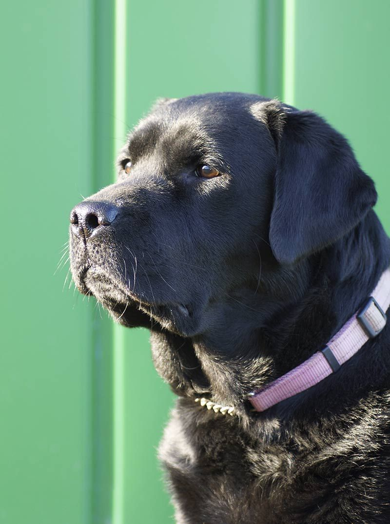 Different Types Of Labrador Which Is Right For You Labrador