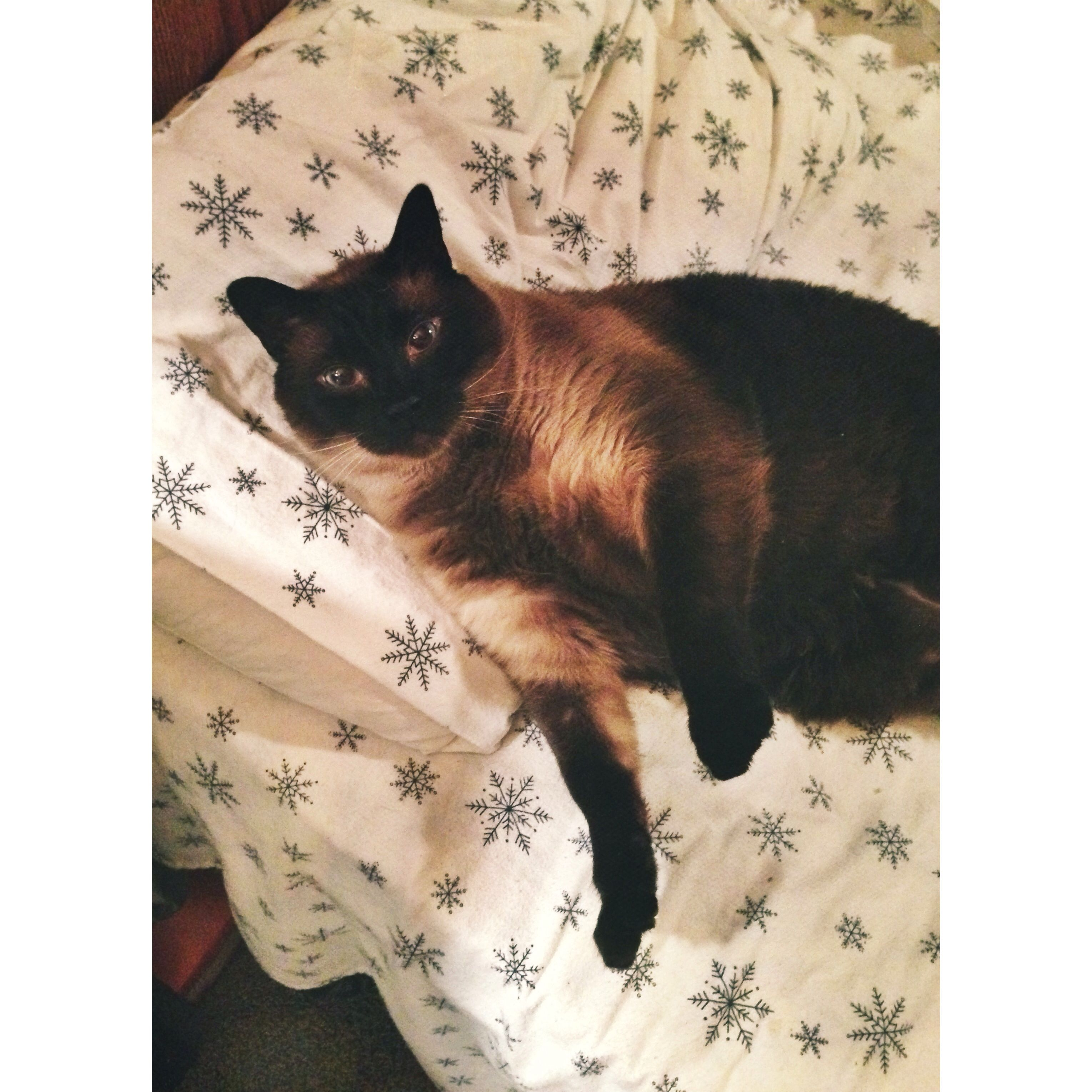 Sleeping On The Pillow Like A Human Animals Beautiful Siamese Cats Animals