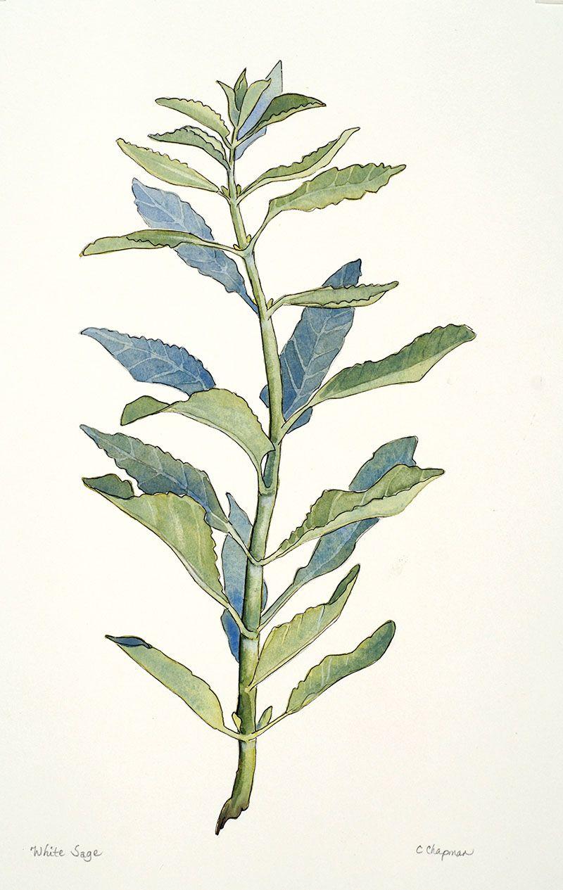 White Sage Watercolor Botanical Illustration Chris Chapman Art