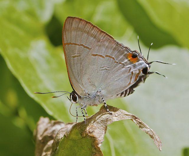 * Common tit (Hypolycaena erylus teatus)  ~ by Troup1 *