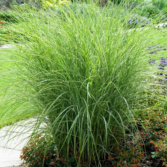 Morning Light Miscanthus Grass Ornamental Grass Landscape Ornamental Grasses Tall Ornamental Grasses